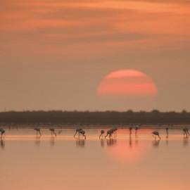Flamencos en las lagunas del Delta del Ebro